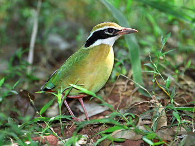 Indian Pitta (Pitta brachyura)
