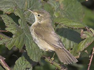 Blyth's Reed Warbler; © Steve Morgan (Flamborough, 7/10/2007)