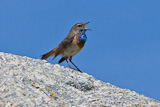 Bluethroat (Luscinia svecica).jpg