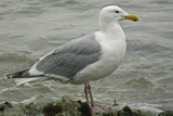 Glaucous-winged Gull (Larus glaucescens)