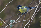 Green-backed Tit (Parus monticolus).jpg