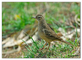 Long-billed Pipit (Anthus similis).jpg